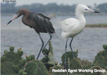 Reddish Egret Working Group