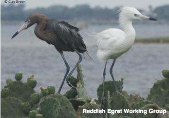 Reddish Egret Working Group
